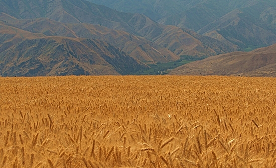 Wheat fields of Waterville, Washington